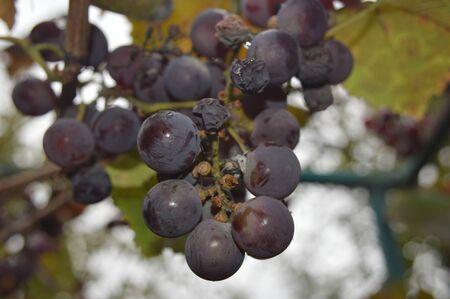 Grape berries grow in a ripe garden