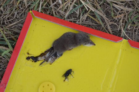 Disinfection of field mice is caught in a the mousetrap Zdjęcie Seryjne