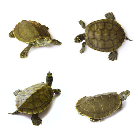 green turtle: Young freshwater turtles set isolated on white