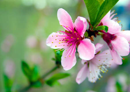 peach tree: Flower