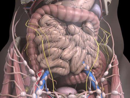 organos internos: los �rganos internos Foto de archivo