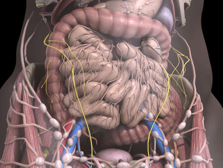 overlays: the internal organs Stock Photo