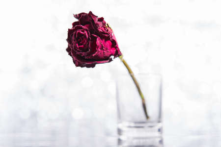 unloved: Dead Rose Stock Photo