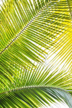 Palm Sunday background for religious holiday backdrop with green tropical tree leaves against natural sky Stock Photo