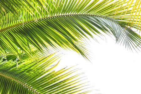 Palme verlässt tropisches Pflanzengrünes Laub gegen natürlichen Sommer- oder Frühlingshimmel für religiösen Feiertagshintergrund des Plam-Sonntags