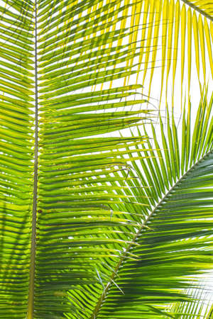 Palm Sunday background for religious holiday backdrop with green tropical tree leaves against natural summer sky