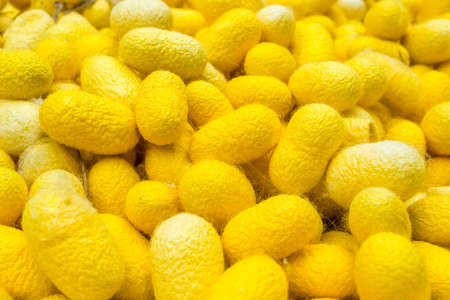 Yellow silk cocoons