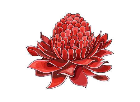 Mezzitoni del fumetto con illustartion del fiore di Etlingera Elatior per elemento di stampa o design con dettagli elevati isolati su priorità bassa bianca. Abbozzo colorato di annegamento della mano di vettore.