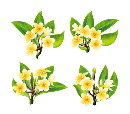 White and yellow Plumeria Flowers in realistic style on white background