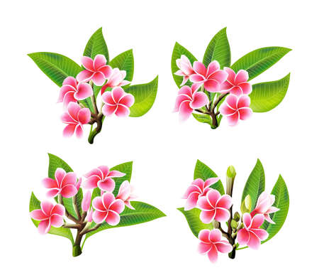 White and pink Plumeria Flowers in realistic style on white background. Vector Illustration set. Tropical flowering plants collection. Flowers and leafs of Plumeria in real style.