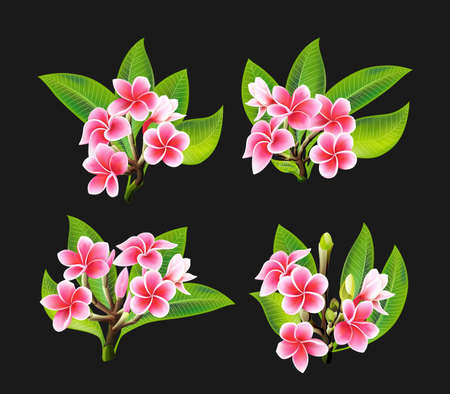 White and pink Plumeria Flowers in realistic style on black background Illustration