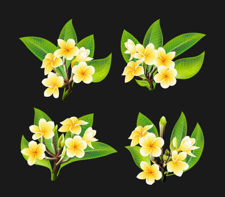 White and yellow Plumeria Flowers in realistic style on black background