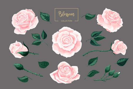 Cream pink roses blossom collection. Rose flowers set isolated on gray