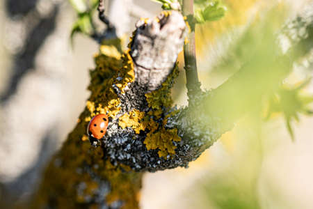 ladybug on a branch with yellow lichen in sunlight