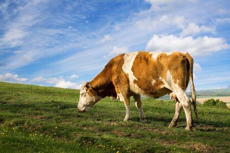 Cow Stock Photo - 3059427
