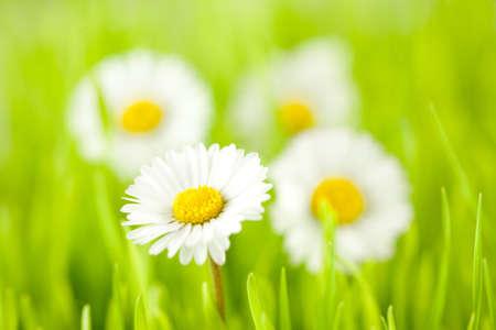 daisy spring; shallow dof photo