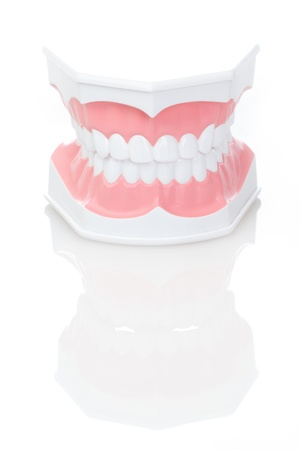 Dental Model of Teeth  on isolated background photo