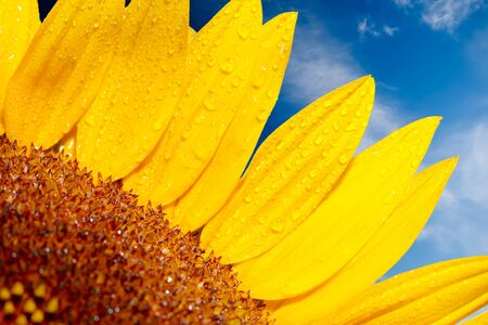 Sunflower on a background of the cloudy blue sky  photo