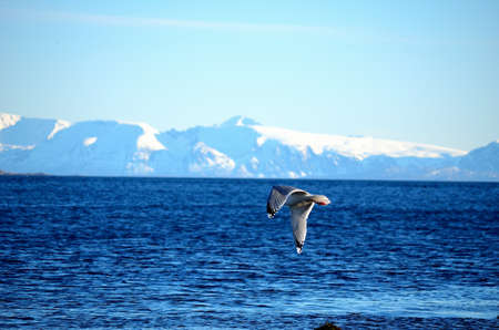 artic circle: Seagull flying with mighty snow covered mountain range and ocean in the background