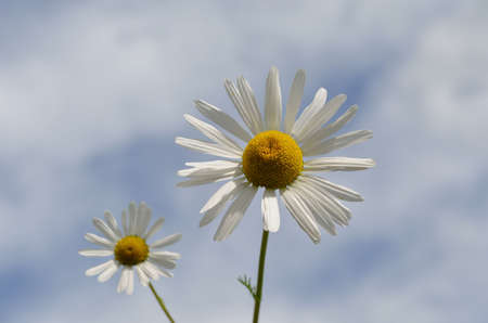 bachelor s button: The summer has come in form of Two beautiful daisies