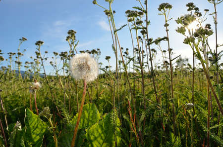 Mature dandelion amongst other plants photo