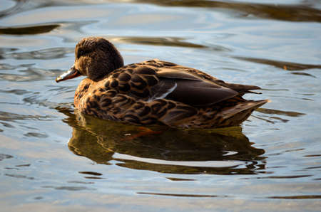 Strong coloured female mallard duck searching for food on a sunny autumn day photo