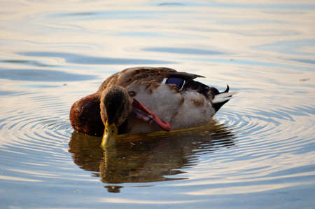 Male mallard duck scratching an itch out on the pond photo