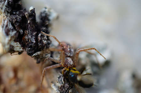 devouring: spider on a birch tree devouring a fly