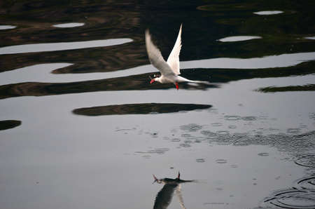 Artic Tern bird had a successful hunting as he flies away with a small fish in its beak close to the ocean surface photo