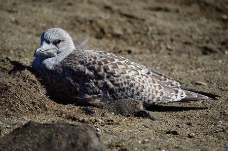 vigilant: Vigilant nesting big white seagull on a sandy shore in the summer Stock Photo