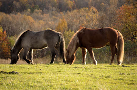 artic: Two beautiful horses grazing in the late artic autumn sun