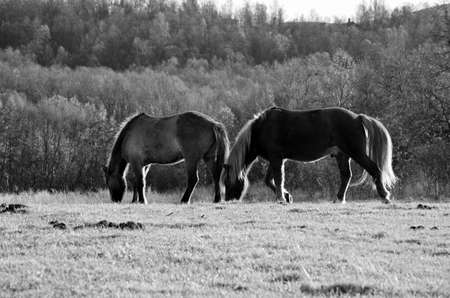 Monochrome photo of two beautiful horses grazing in the late artic autumn sun photo
