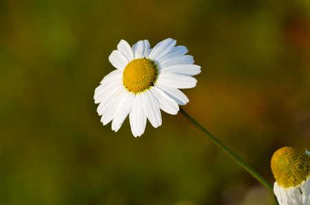 oxeye daisy in the late autumn sun photo