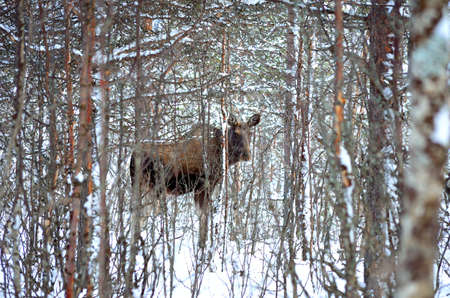 artic circle: female moose walking in winter forest