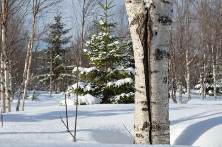 scarred: scarred adult birch tree in deep snow on sunny day