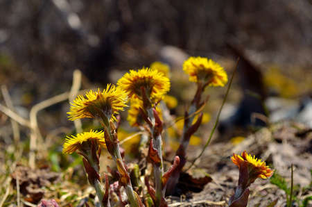 beautiful vibrant yellow Coltsfoot flowers blooming photo