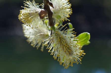 great sallow: Beautiful Great Sallow tree blooming