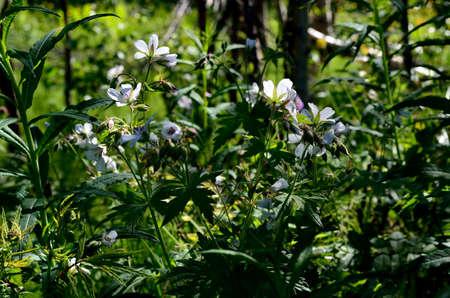 cranesbill: beautiful white wood cranesbill flower in summer Stock Photo