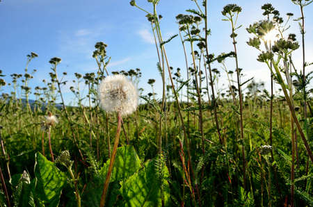 mature dandelion flower after blooming in summer field on sunny summer day  photo
