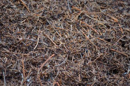 ameisenhaufen: Ameisen in einem Ameisenhaufen-Makro-Foto
