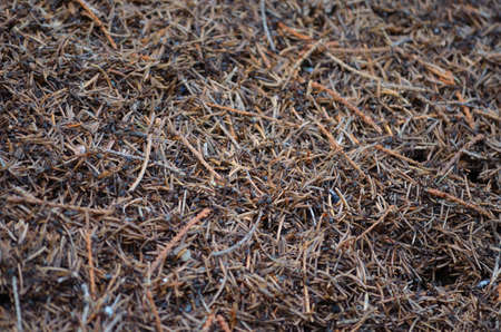 Ants in a anthill macro photo