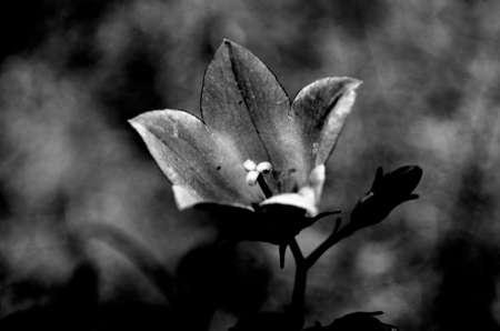 bellflower in summer macro photo monochrome photo