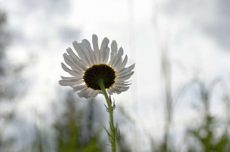 bachelor s button: Daisies catching a gust of wind in the summer