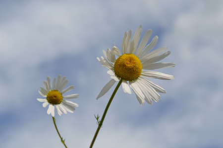 Two beautiful sunflower daisies on cloudy background in summer photo