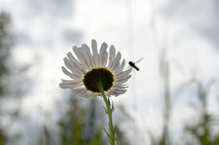 bachelor s button: sunflower in summer