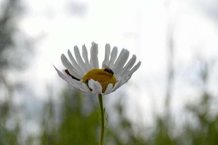 bachelor s button: Flies feeding inside a sunflower daisie in summer