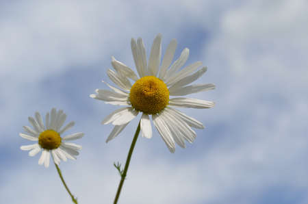 bachelor s button: Two beautiful sunflower daisies on cloudy background in summer Stock Photo