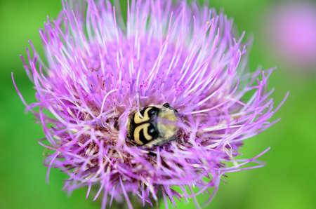 bumblebee pollinating purple thistle flower in summer macro photo photo