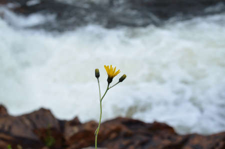 Lonely coltsfoot flower by the river side in summer photo