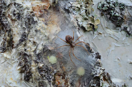 Spider mother is coming fast to protect her eggs on a birch tree macro photo photo